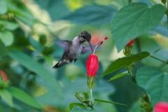 HummingBird2-03926